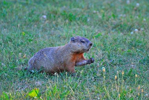 Groundhog, Rodent, Animal, Wildlife, Mammal
