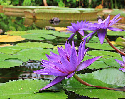 Water Lilies, Nuphar, Aquatic Plant, Flowers, Pond