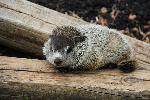 Baby, Groundhog, Lonely, Animal