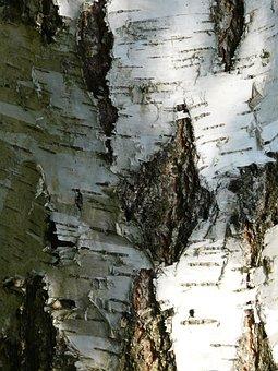 Birch, Bark, Strain, Forest, Tree Bark, Trunk