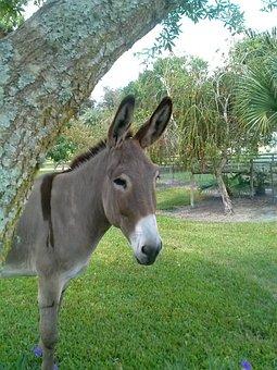 Donkey, Big, Burro, Cute, Grey, Gray, Mammal