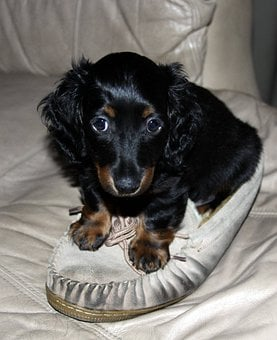 Dachshund, Puppy, Long Hair, Mini, Dog, Pet, Canine