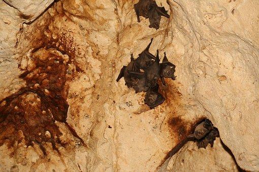 Bats, Cave, Hanging, Nature, Animal, Nocturnal, Mammal