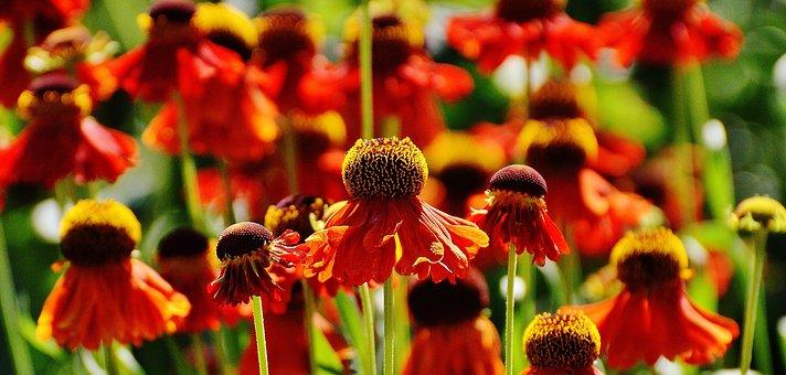 Coneflower, Echinacea Purpurea, Summer, Red, Orange