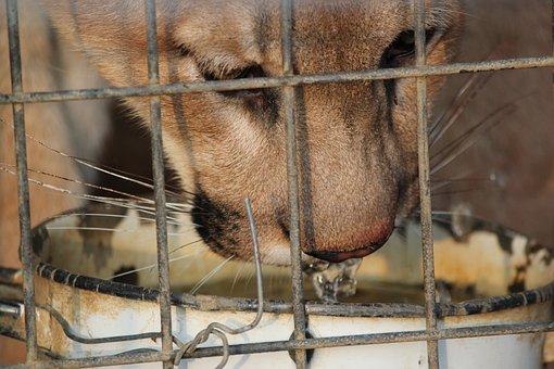 Cougar, Large, Feline, Cat, Animal, Puma, America