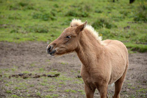 Foal, Iceland Pony, Animal, Creature