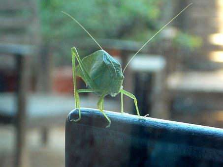 Cricket, Katydid, Grasshopper, Insect, Nature, Green