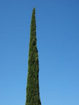 Cypress, Tree, Real Cypress, Italian Cypress