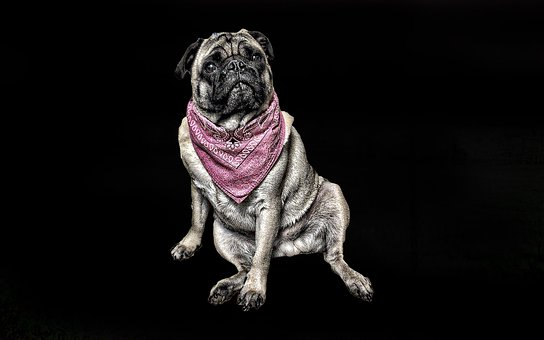 Pug, Dog, Studio, Scarf, Sitting, Cute Dog