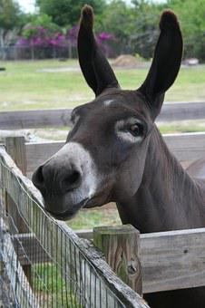 Burro, Donkey, Chocolate, Brown, Attentive, Funny