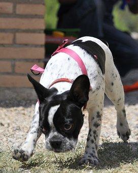 French Bulldog, Dog, Pet, Friend, Puppy, Bulldog