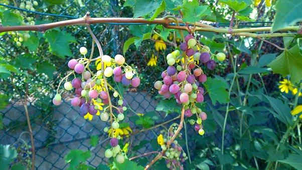 Vine, Grape, Cluster, Fruit, Muscat, Ampelia, Aladin