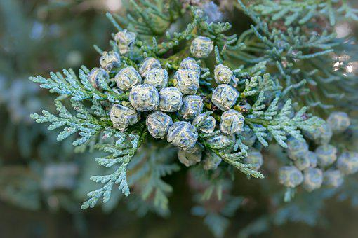 Thuja, Tree Of Life, Tap, Fruits, Cypress Under Glass