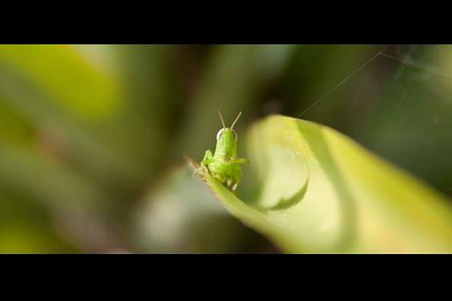 Grasshopper, Nature, Grass, Insect, Closeup, Micro
