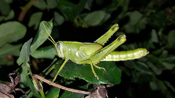 Grasshopper, Gray Bird Grasshopper, Nymph, Hopper