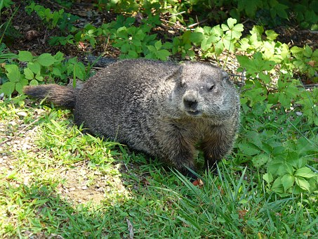 Ground Hog, Wildlife, Animal, Ground, Mammal, Nature