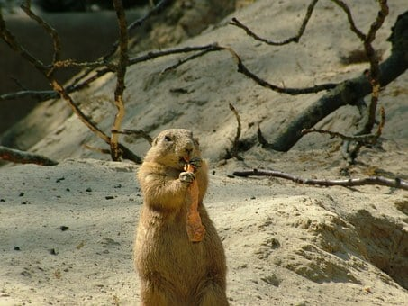 Groundhog, Marmota Monax, Root, Carrot