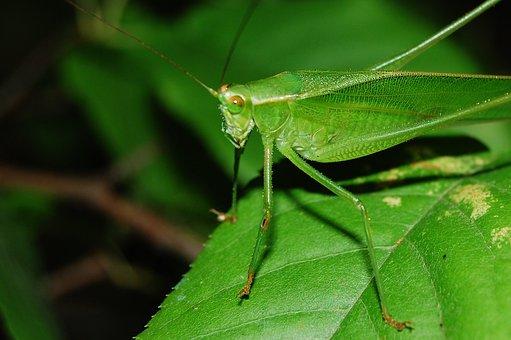 Cricket, Grasshopper, Locust, Hopper, Insect, Animal