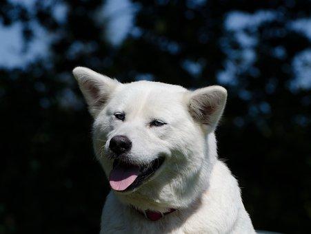 Akita Inu, Husky, White, Hybrid, Husky Mongrel, Eyes