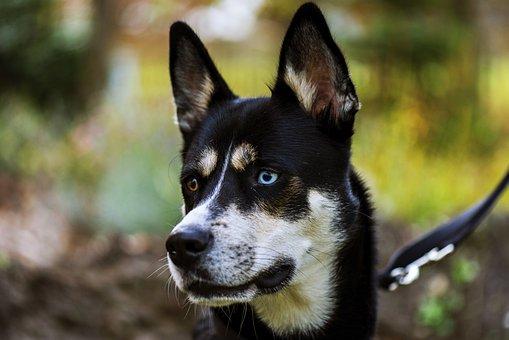 Dog, Husky, Winter, Snow Dog, Animal, Siberian Husky