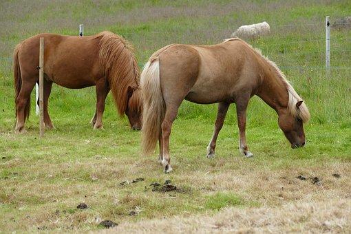 Horse, Iceland, Iceland Horse, Iceland Pony, Mane, Pony