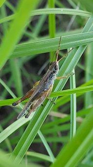 Grasshopper, Slant Faced Grasshopper, Hopper, Insect