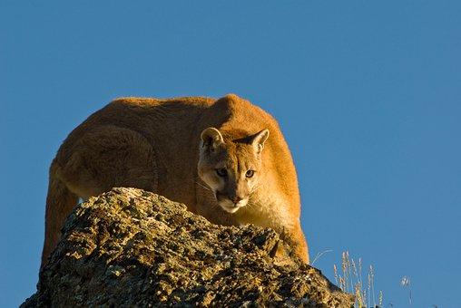 Puma, Mountain Lion, Crouching, Cougar, Cat, Carnivore