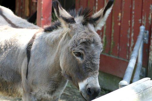 Donkey, Burro, Mule, Jackass, Ass, Animal, Nature, Zoo