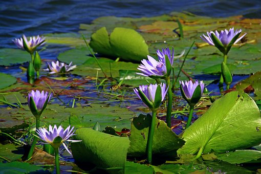 Water Lily, Nuphar Lutea, Aquatic Plant, Pond, Blossom