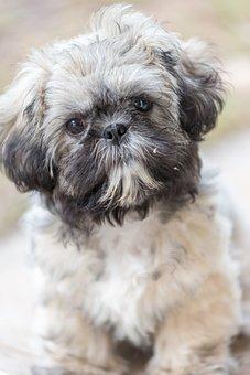 Shih Tzu, Puppy, Animal, Purebred, Pet