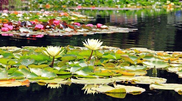 Water Lilies, Nuphar, Aquatic Plants, Flowers, Pond