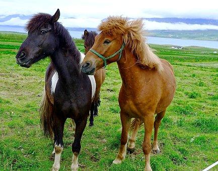 Horses, Ponies, Iceland, Pony, Farm, Animal, Field