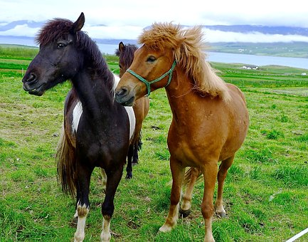 Horses, Ponies, Iceland, Pony, Farm, Animal, Field