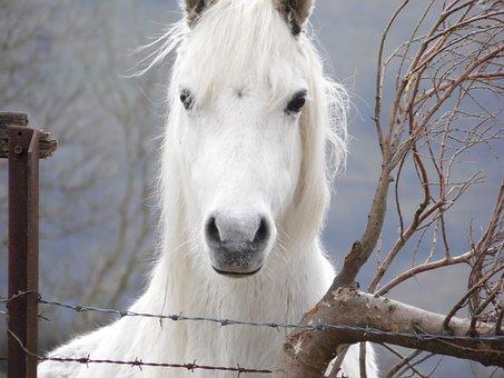 Horse, Pony, Animal, Head, Stallion, Breed, Nature