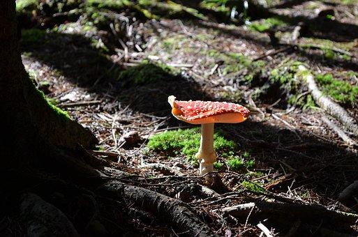 Mushroom, Fly Agaric, Red Fly Agaric Mushroom
