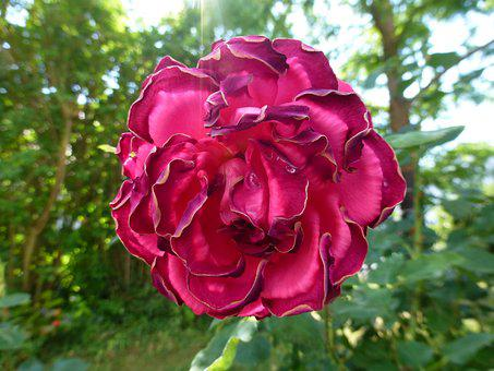 Flower, Red, Rose, Red Flower, Red Rose, Garden, Nature