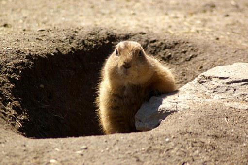 Groundhog, Rodent, Shadow