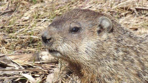 Groundhog, Woodchuck, Whistlepig, Animal, Rodent