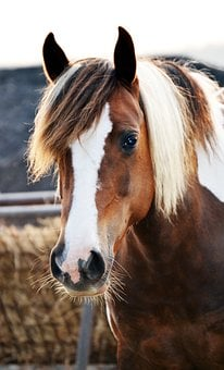 Pony, Horse, Skewbald, Animal, Nature, Ranch, Riding