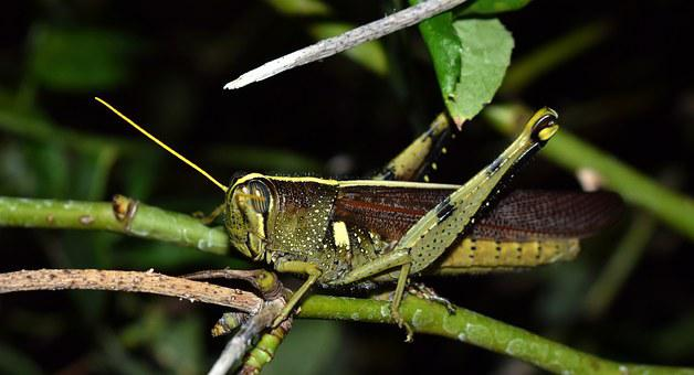 Grasshopper, Spotted Bird Grasshopper, Hopper, Insect