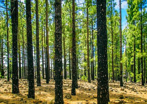 Forest, Sun, Tree, Green, Conifers, Log, Strains