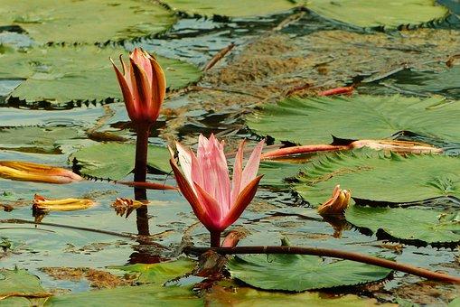 Heviz, Hungary, Thermal Spring, Spa, Water Lilies