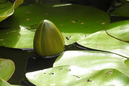 Bud, Water Lily, Nuphar Lutea, Pond Plant