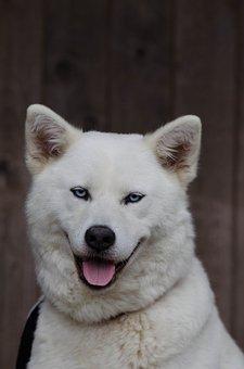 Akita Inu, Husky, Hybrid, White, Face, Blue Eye