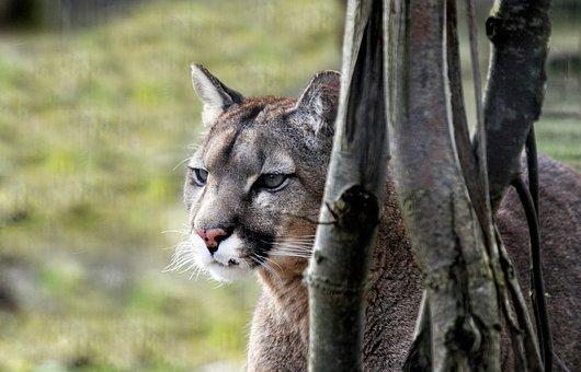 Puma, Feline, Wild, Tawny, Africa, Wild Animal, Look