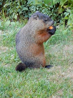 Rodent, Ground Hog, Wild, Animal, Groundhog, Nature