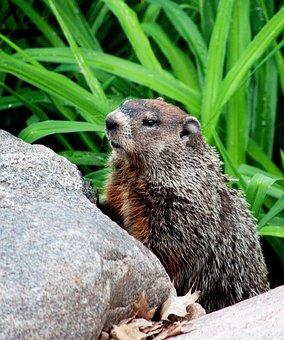 Rodent, Animal, Groundhog, Wildlife, Wild
