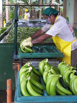 Man, Packaging, Workers, Pack, Sort, Organic Bananas