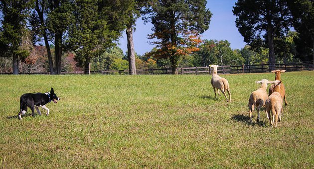 Border Collie, Sheep, Herding, Working, Sheepdog, Dog