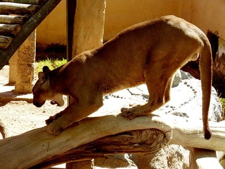 Andean Puma, Zoo, Animal, Animals, Nature, Animal World